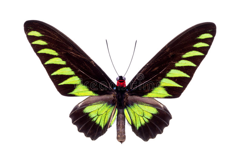 Beautiful colorful butterfly isolated on white. Papilio Trogonoptera Brookiana (Rajah Brooke Birdwings). Beautiful colorful butterfly with black and green wings stock photos