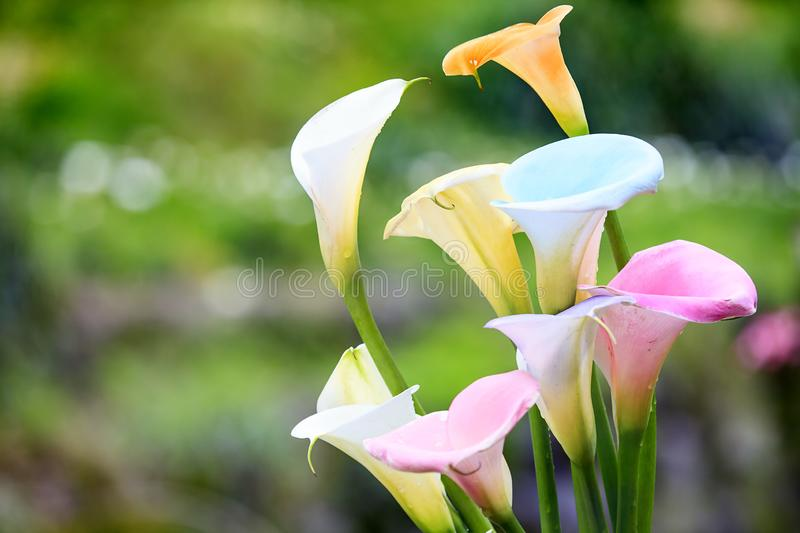 Beautiful Colorful Calla Lilies with nice background color. The beautiful Colorful Calla Lilies with nice background color stock photos
