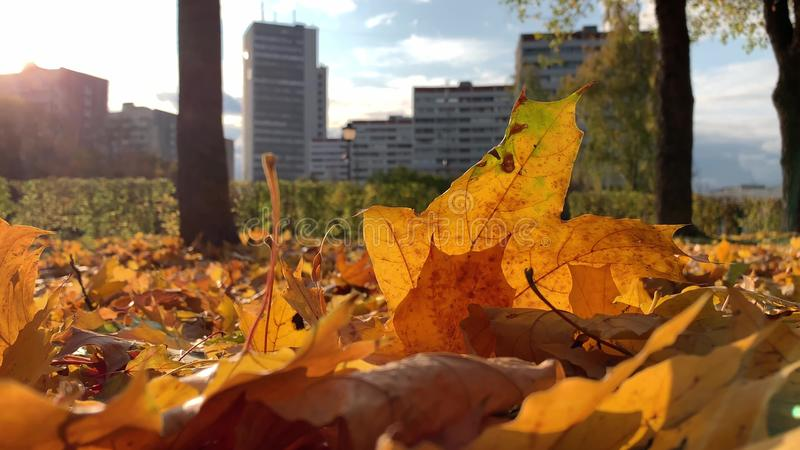 Beautiful colorful colden autumn fall maple leaxes lying on the ground in sunlight and moving by the wind, modern city on royalty free illustration