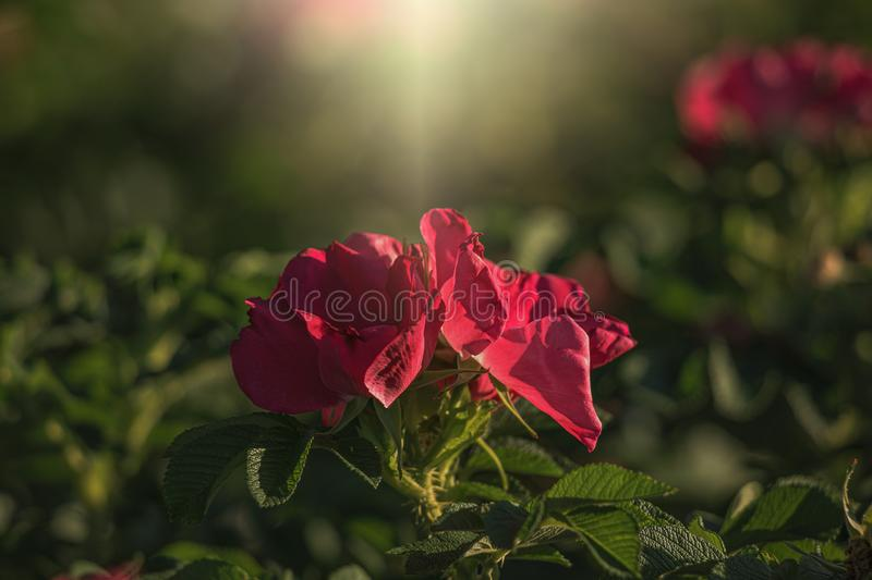 Colorful delicate wild rose illuminated by warm summer evening sun stock photo