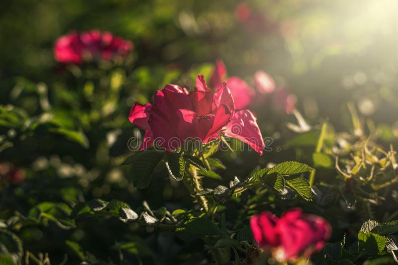 Colorful delicate wild rose illuminated by warm summer evening sun stock images