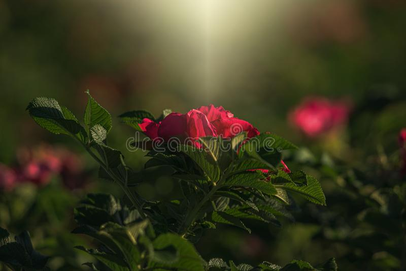 Colorful delicate wild rose illuminated by warm summer evening sun royalty free stock images