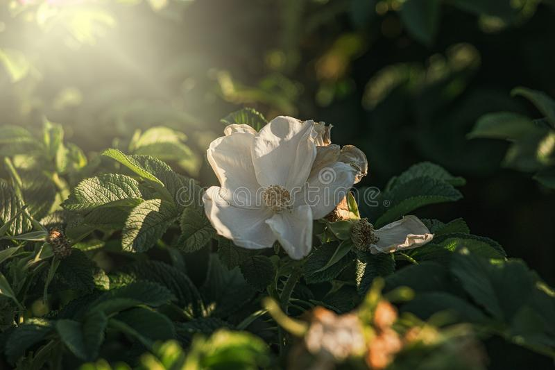 Colorful delicate wild rose illuminated by warm summer evening sun stock photos
