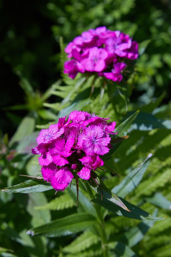 Beautiful colorful Dianthus flower Dianthus chinensis, Sweet William or Dianthus barbatus royalty free stock photos