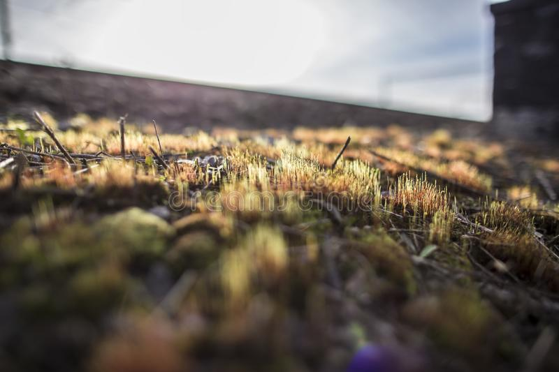 Beautiful, colorful, dry moss Polytrichum commune grows on a hill, in the rays of the spring sun, on a blurred background. View from the bottom royalty free stock photography