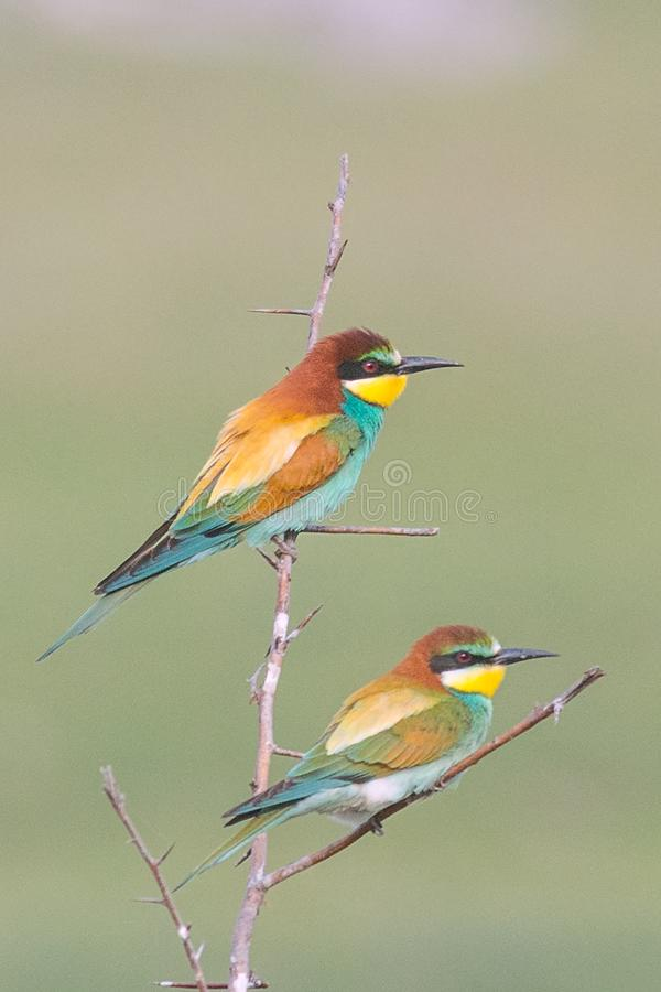 Beautiful colorful couple of bee-eaters sitting on a twig. Beautiful colorful enamoured couple of bee-eaters sitting on a twig, Merops apiaster stock photo