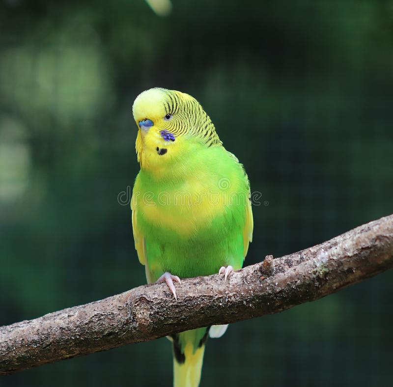 Beautiful and colorful exotic birds in a close up portrait. View royalty free stock photo