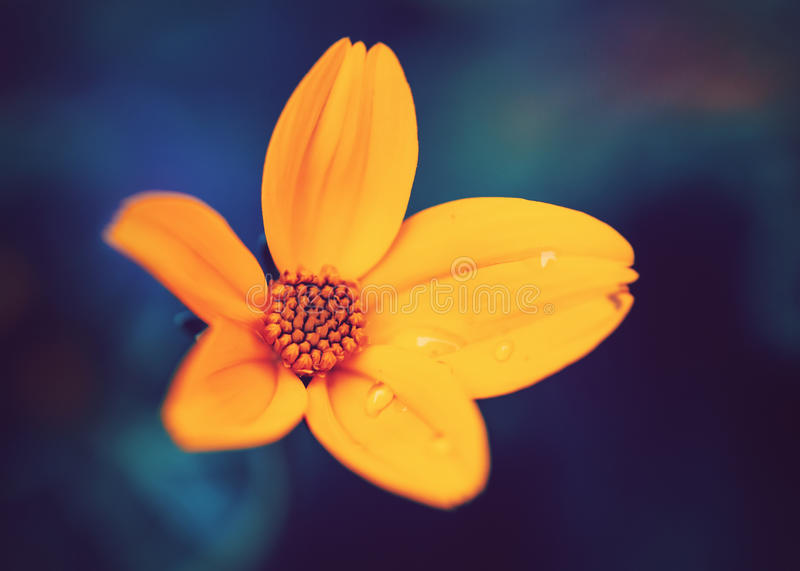 Beautiful colorful fairy dreamy magic yellow flower with water drops on leaves, blue purple blurry background stock images