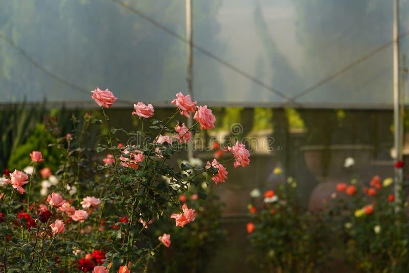 Roses bloom in plastic greenhouse in dalat royalty free stock image