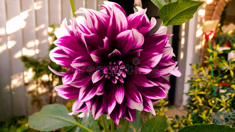Beautiful colorful flower royalty free stock photo