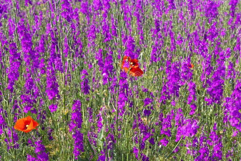 Beautiful colorful flower field, purple flowers and two bright red poppies stock photos