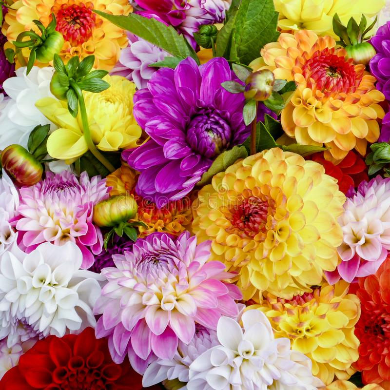 Beautiful Colorful Dahlia Flowers Background. Closeup for Decoration or Romantic Gift royalty free stock photos