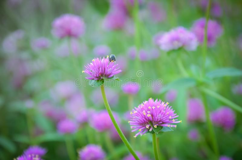 Beautiful colorful flowers. Beautiful Little Pink flowers with small insects stock photos