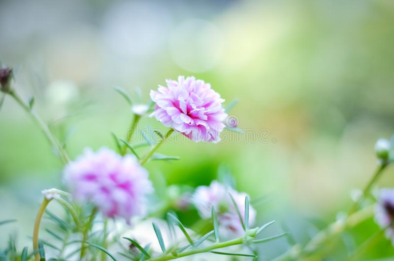 Beautiful colorful flowers. Beautiful Little Pink flowers with warm light royalty free stock images