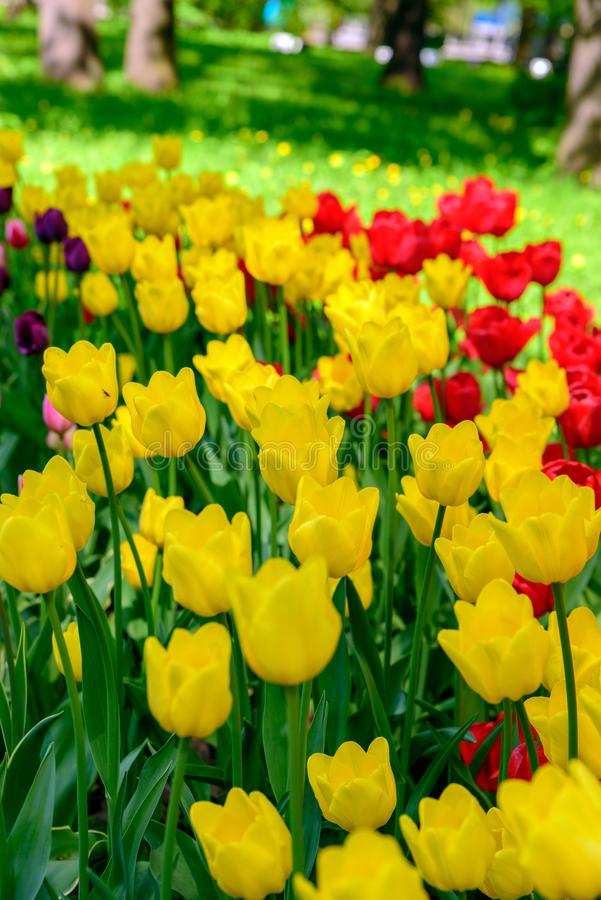 Beautiful colorful flowers from Tulip Festival. stock photos