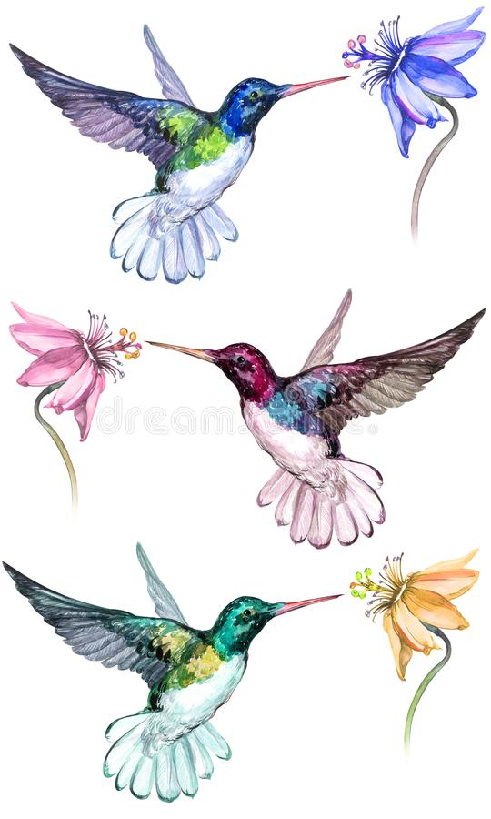 Beautiful colorful hummingbirds drink flower nectar. Isolated on white background. Collection of exotic tropical birds with vivid feathering. Watecolor stock illustration