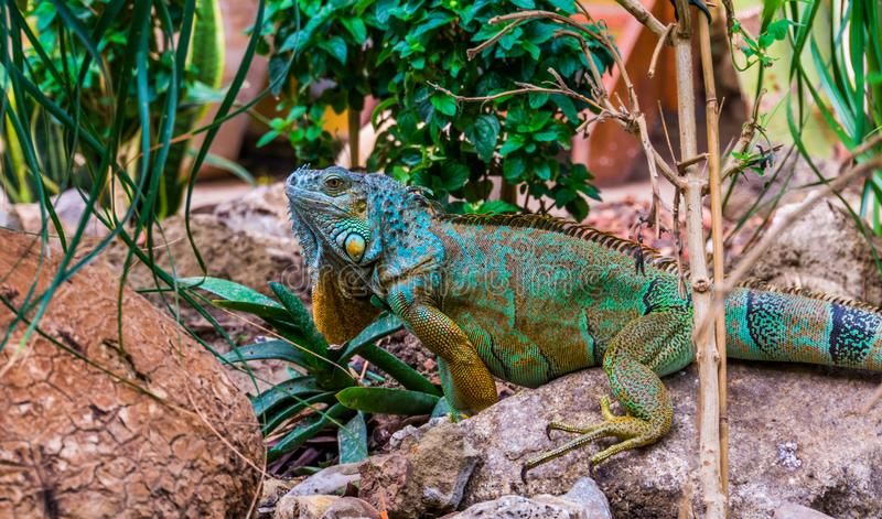 Beautiful colorful iguana with a beard, blotched lizard with the colors turquoise, yellow, black and green, popular tropical pet. A beautiful colorful iguana stock photos