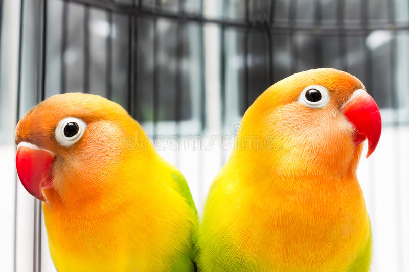 Beautiful Colorful Lovebirds stock photography