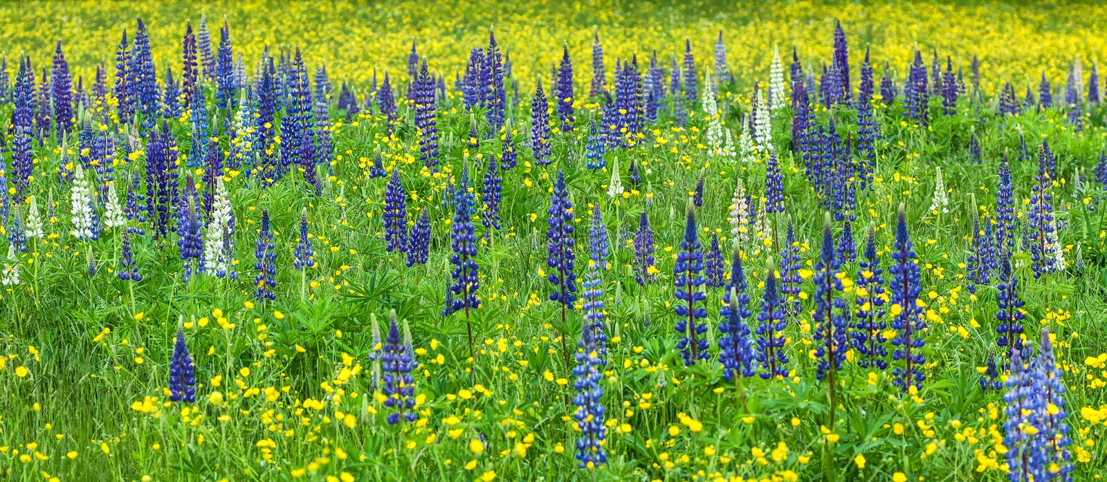 Lupines in a Field with Yellow Flowers royalty free stock photos