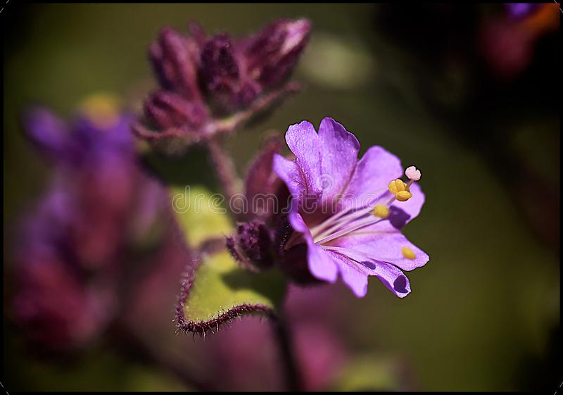 Macro purple flower. Beautiful colorful macro photo of a purple flower with yellow stamens and green leaf royalty free stock photos