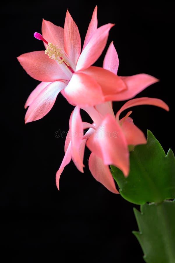 Close up macrophotography of beautiful cactus flower. stock photos