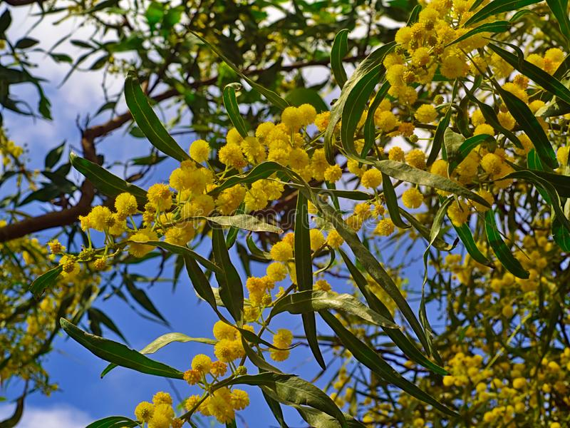 Beautiful colorful mimosa. Beautiful colorful mimosa Acacia Baileyana tree branch full of yellow flowers on blue sky with some clouds background. Vibrant spring royalty free stock images