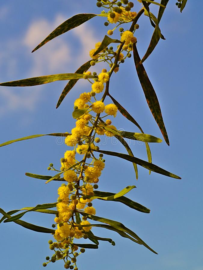 Beautiful colorful mimosa. Beautiful colorful mimosa Acacia Baileyana tree branch full of yellow flowers on blue sky with some clouds background. Vibrant spring stock photo