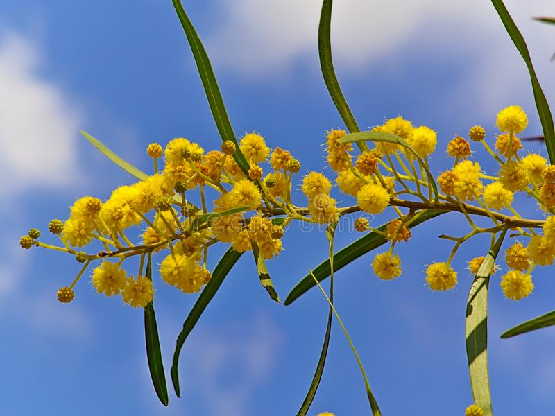 Beautiful colorful mimosa. Beautiful colorful mimosa Acacia Baileyana tree branch full of yellow flowers on blue sky with some clouds bakcground. Vibrant spring stock photos
