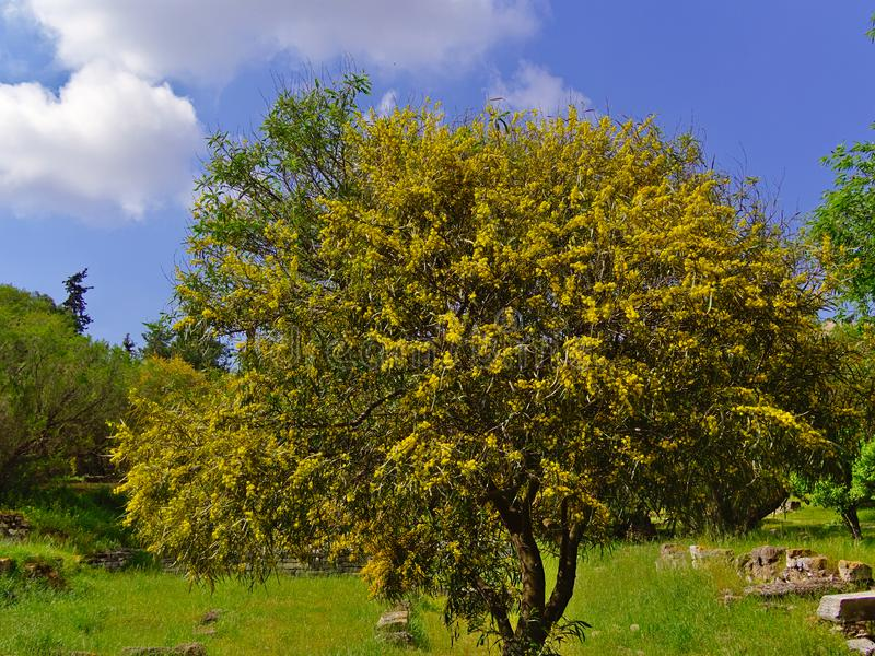 Beautiful colorful mimosa. Beautiful colorful mimosa Acacia Baileyana tree full of yellow flowers. Contrast with vivid blue sky. Vibrant spring image royalty free stock photo