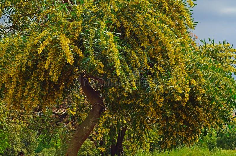 Beautiful colorful mimosa. Beautiful colorful mimosa Acacia Baileyana trees full of yellow flowers. Vibrant spring image stock photos