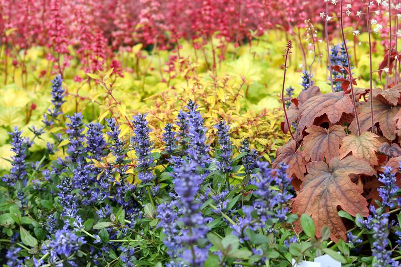 Beautiful colorful mix of blooming blue, yellow and red perennials. Blue bugle bugleherb and red heuchera or heucherella royalty free stock photo
