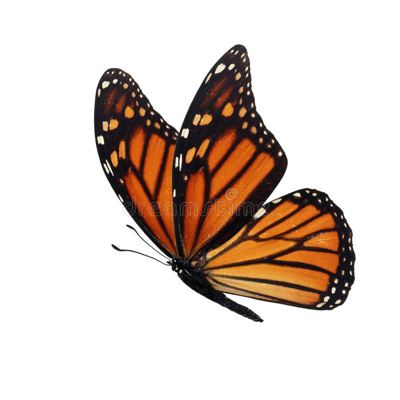 Monarch butterfly isolated stock image