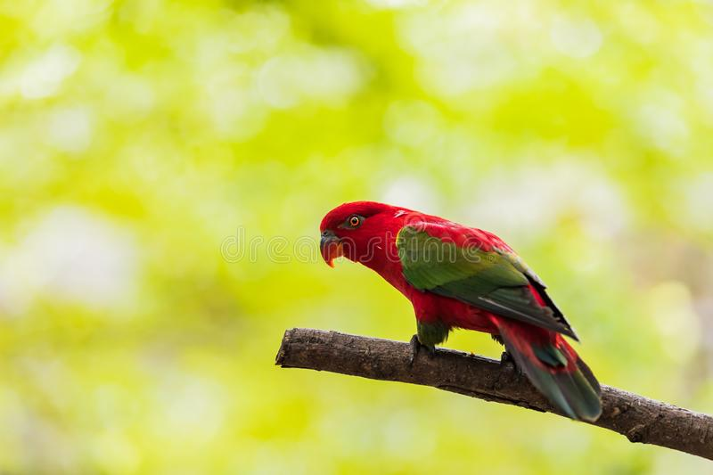 Beautiful colorful Pair Lovebirds parrots on branch. Colorful Love parrot couple.  stock images