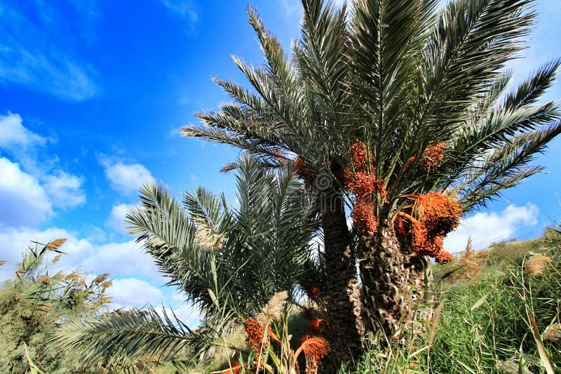 Palm trees full of dates in Elche. Beautiful and colorful palm trees full of dates in Elche in Autumn spain nature food africa green health fruit tunisia root royalty free stock photo