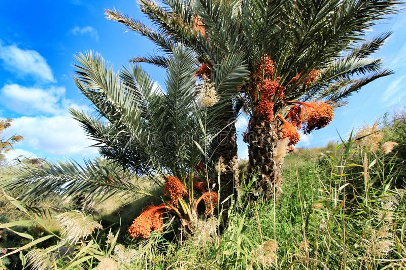 Palm trees full of dates in Elche. Beautiful and colorful palm trees full of dates in Elche in Autumn spain nature food africa green health fruit tunisia root royalty free stock photography