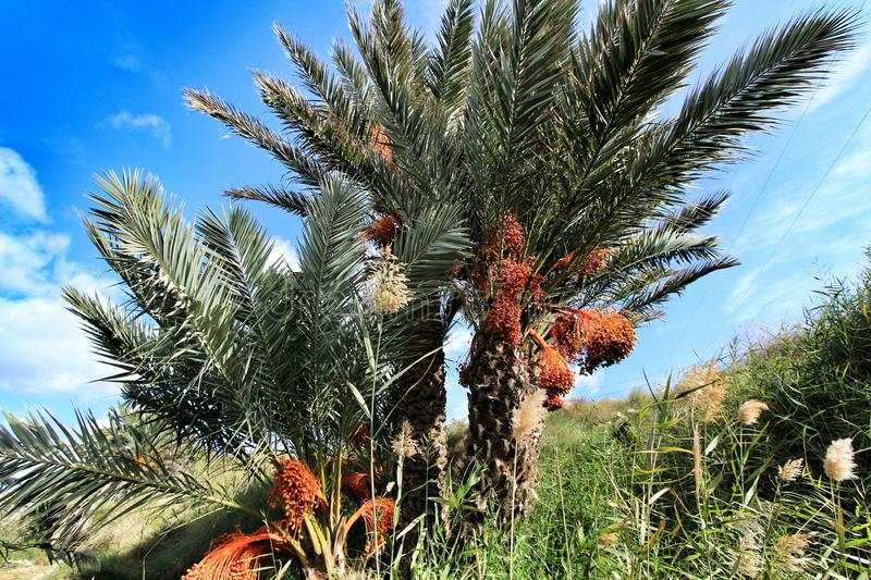 Palm trees full of dates in Elche. Beautiful and colorful palm trees full of dates in Elche in Autumn spain nature food africa green health fruit tunisia root stock images