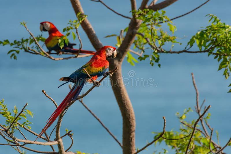 A Beautiful and Colorful Scarlet Macaw Perched on a Tree Branch royalty free stock photography