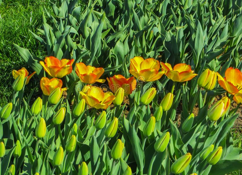 Beautiful, colorful spring tulips in a city park.  royalty free stock photos