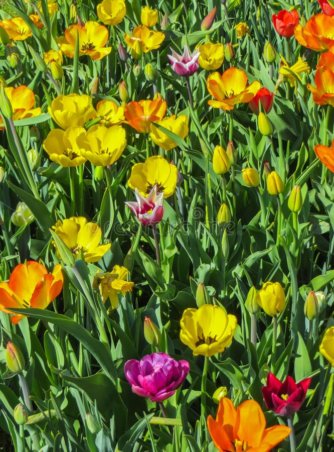 Beautiful, colorful spring tulips in a city park.  stock photography