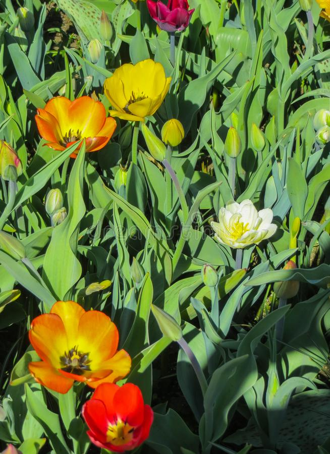 Beautiful, colorful spring tulips in a city park.  royalty free stock photography