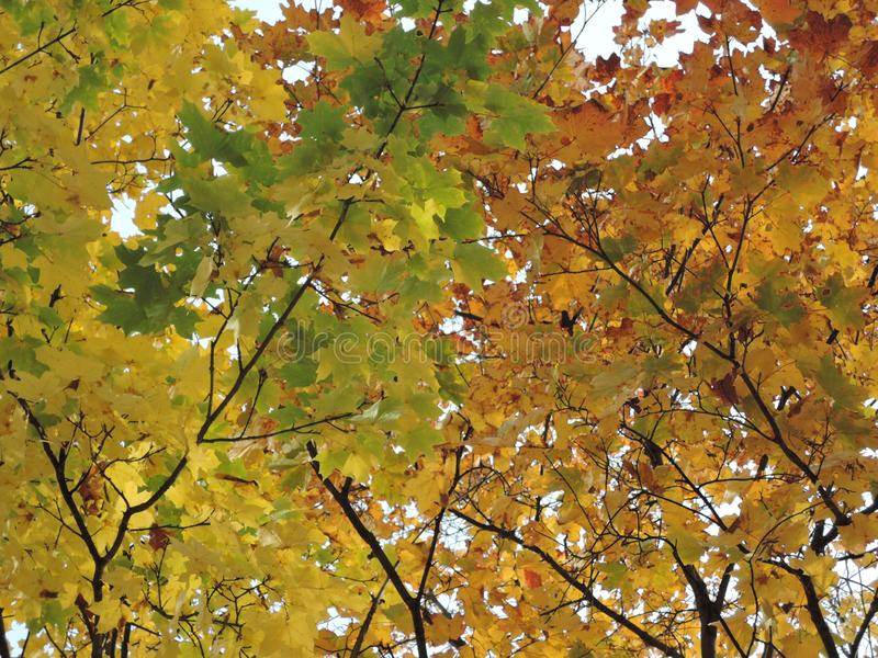 Beautiful colorful tree foliage in autum, bottom-up view.  stock photos