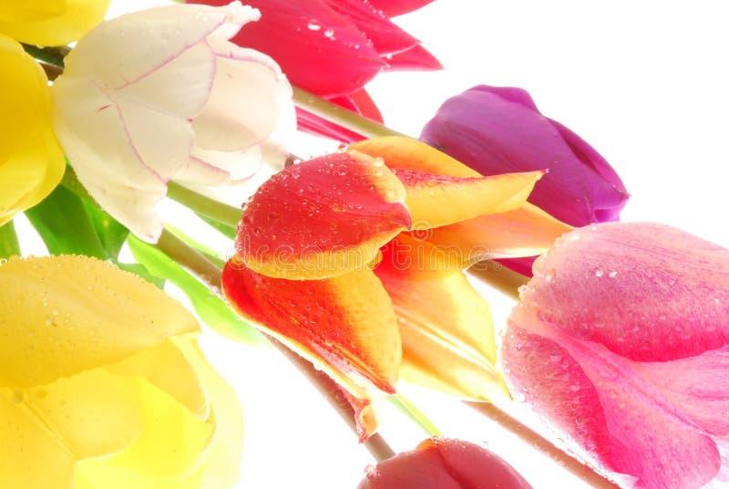Beautiful colorful tulips royalty free stock photo