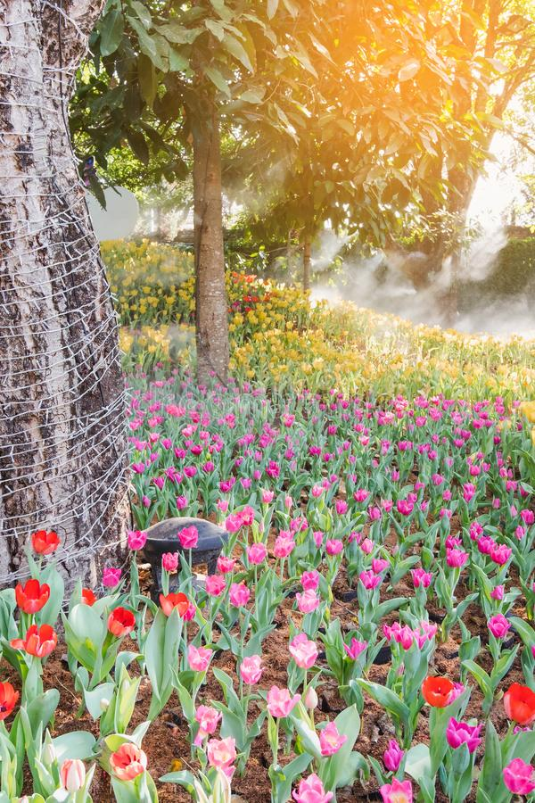 Beautiful colorful tulips in a floral garden . select. Beautiful colorful tulips in a floral garden stock photos