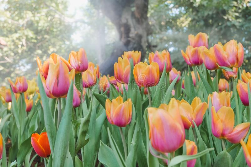 Beautiful colorful tulips in a floral garden . select. Beautiful colorful tulips in a floral garden stock images