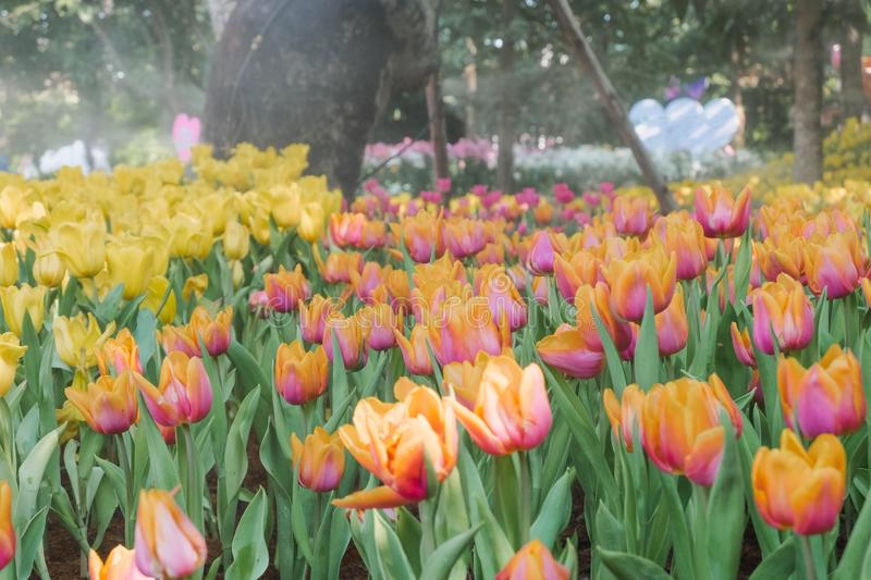 Beautiful colorful tulips in a floral garden . select. Beautiful colorful tulips in a floral garden royalty free stock photo