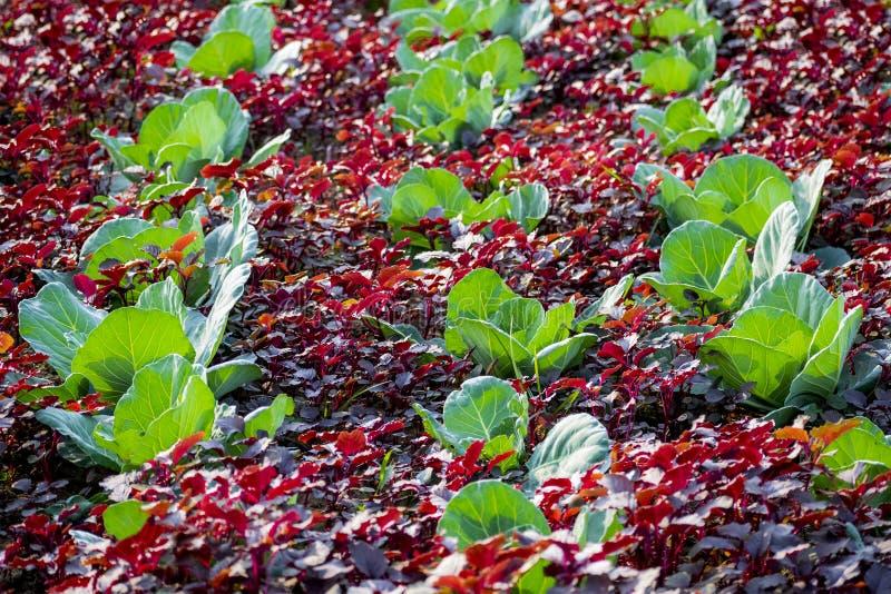 Vegetable field . stock image