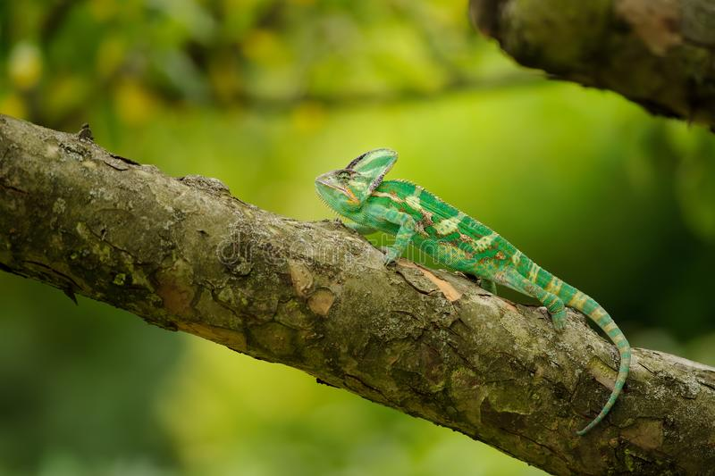 Beautiful colorful veiled chameleon on tree branch. With nice yellow green background royalty free stock image