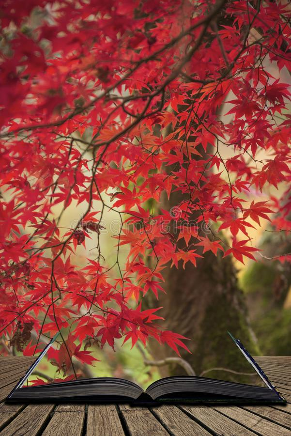 Beautiful colorful vibrant red and yellow Japanese Maple trees in Autumn Fall forest woodland landscape detail in English. Stunning colorful vibrant red and stock photos