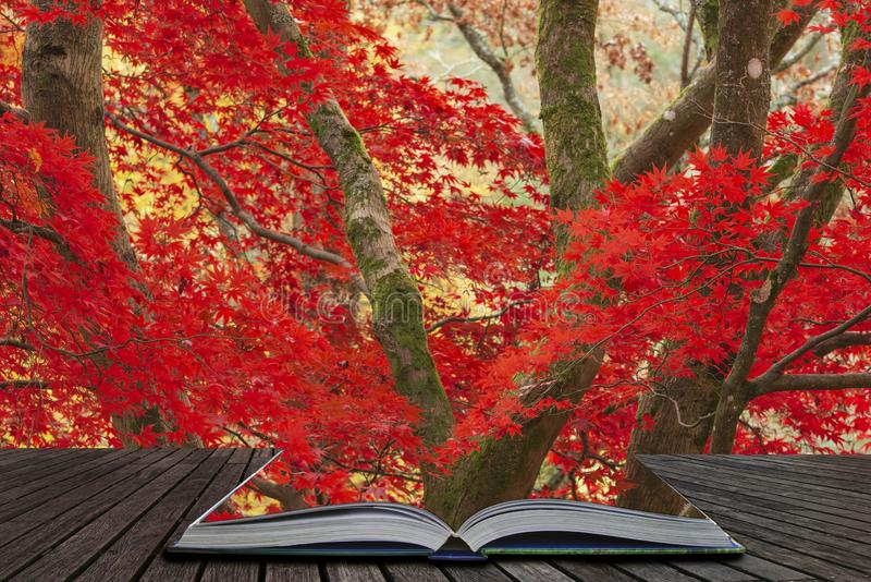 Beautiful colorful vibrant red and yellow Japanese Maple trees in Autumn Fall forest woodland landscape detail in English. Stunning colorful vibrant red and royalty free stock photography