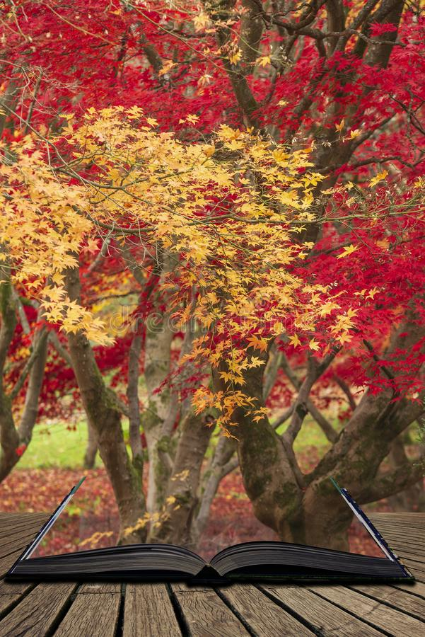 Beautiful colorful vibrant red and yellow Japanese Maple trees in Autumn Fall forest woodland landscape detail in English. Stunning colorful vibrant red and royalty free stock photos